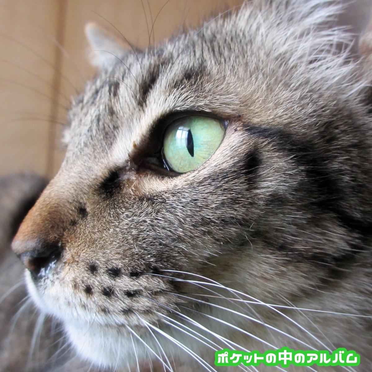 キジトラ猫アップ写真03