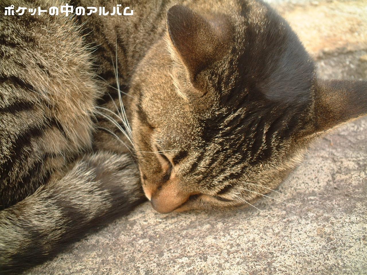 屋島山のキジトラ猫00