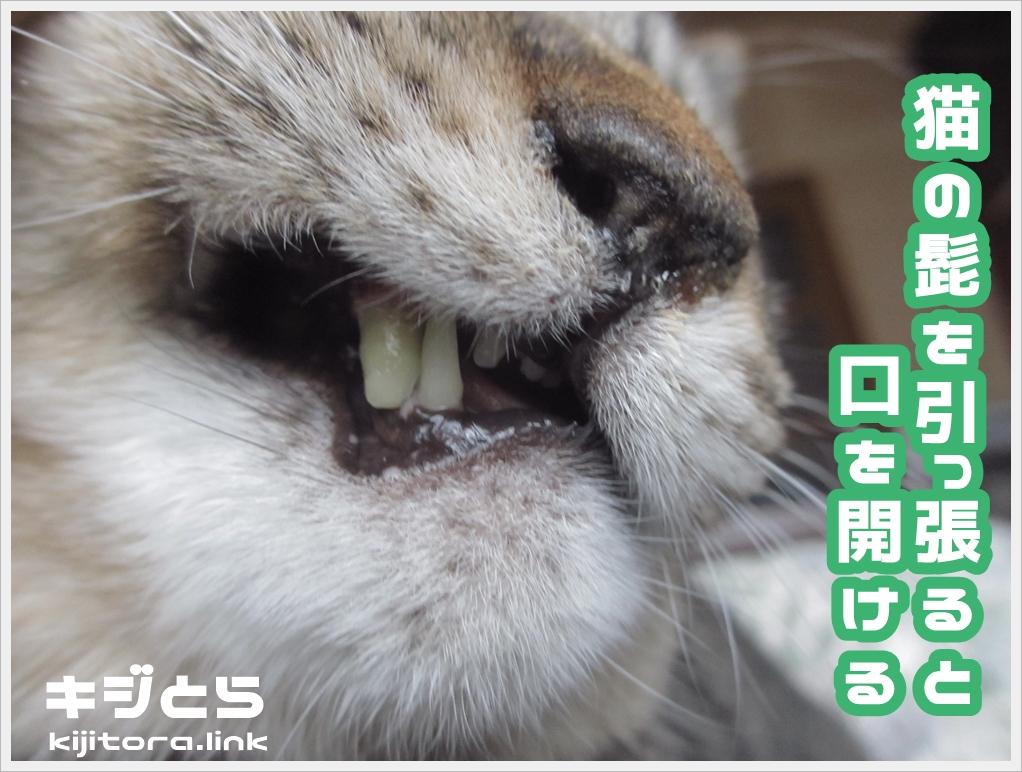猫の髭を引っ張ると、口を開ける