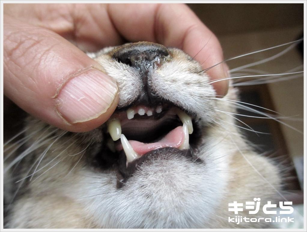 猫の前歯の可愛さは異常