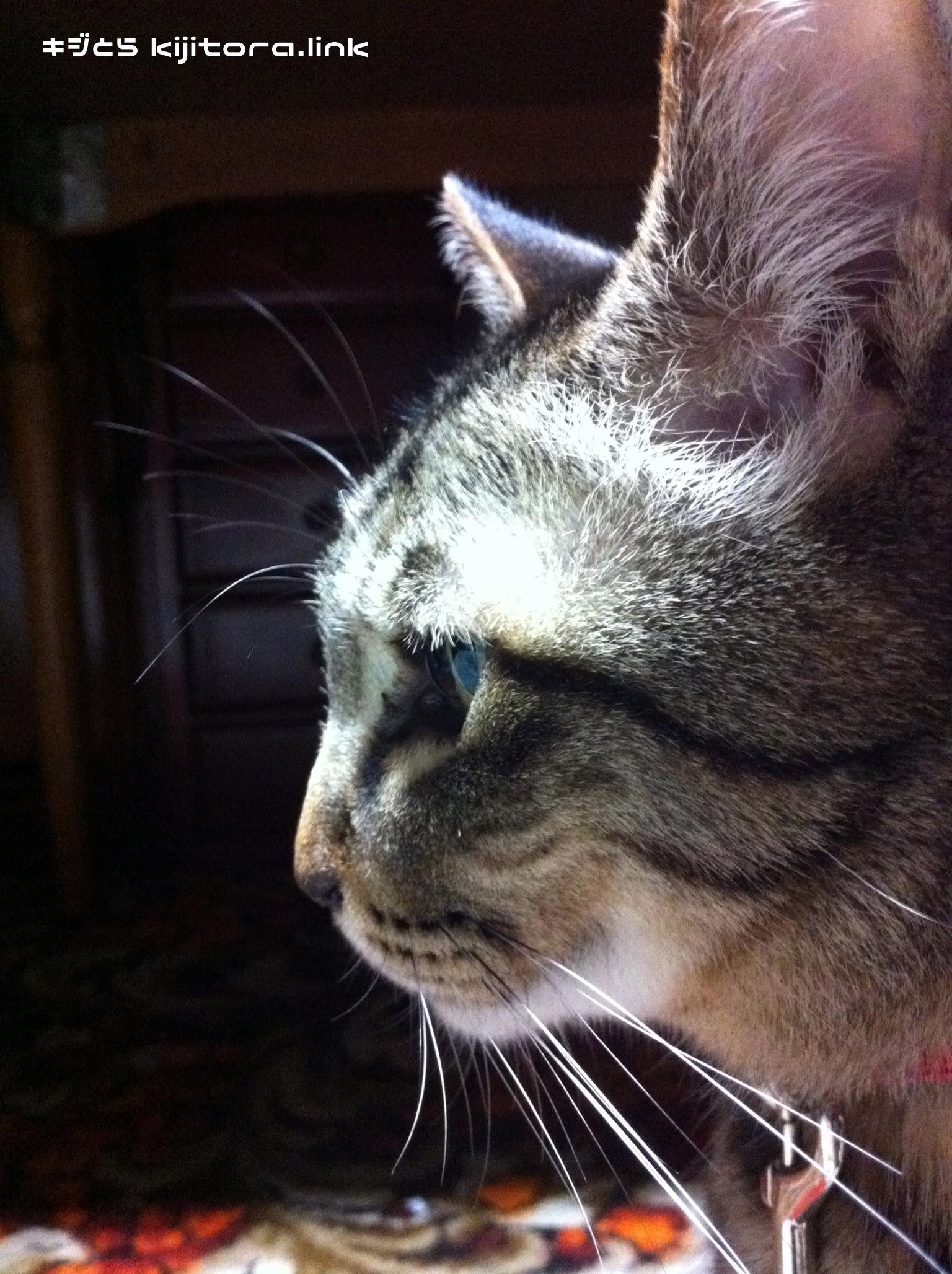 イケメン猫