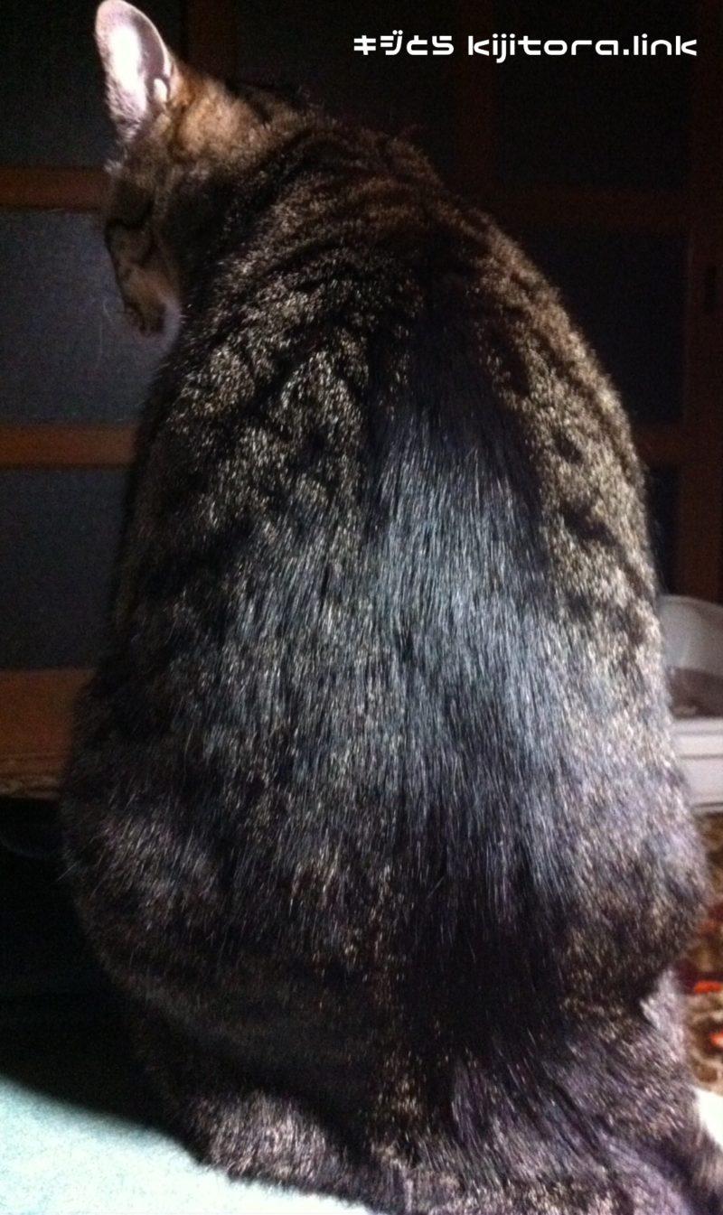 キジトラ猫の素敵すぎる背中