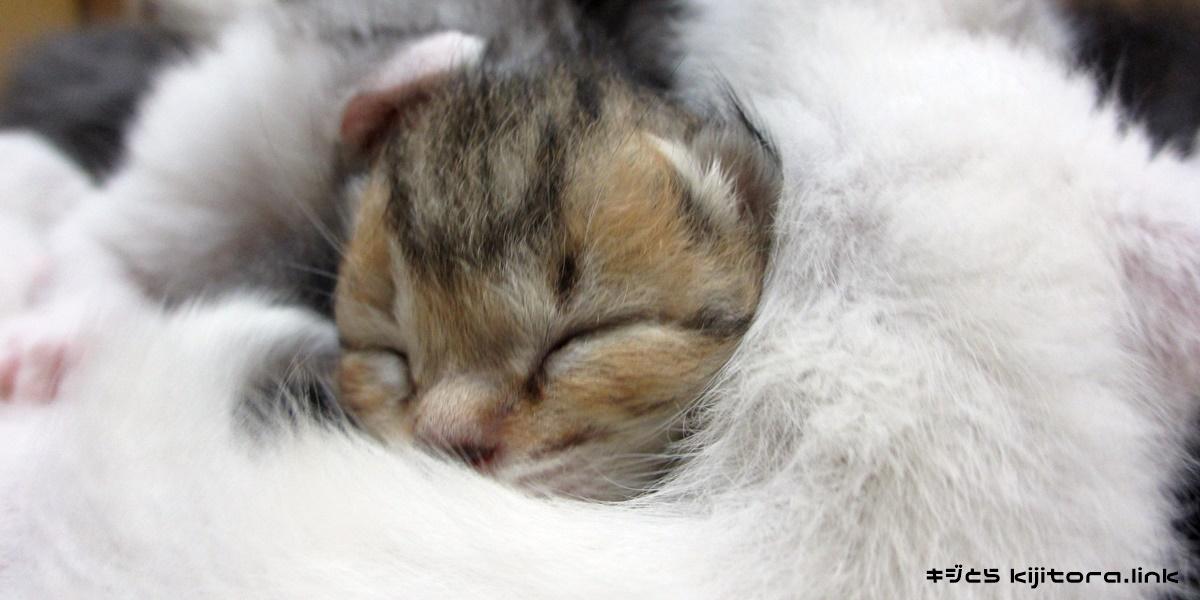 滅茶苦茶可愛いキジトラ猫の赤ちゃん