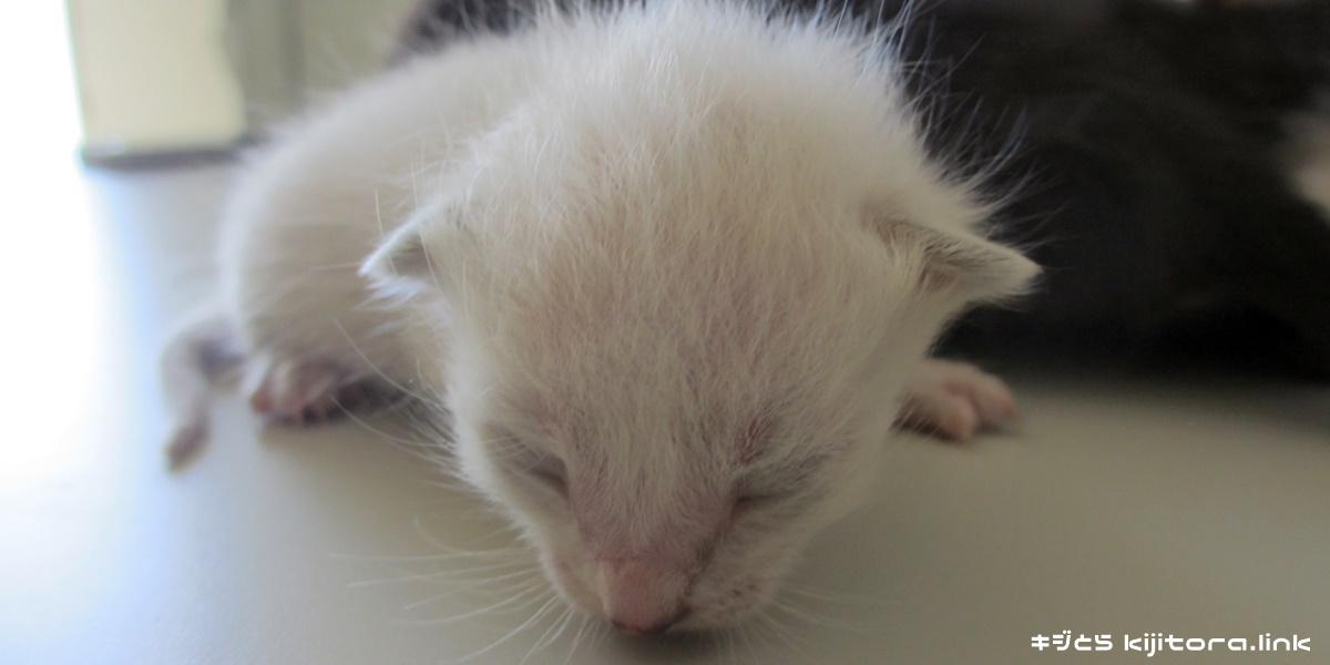 白猫の仔猫