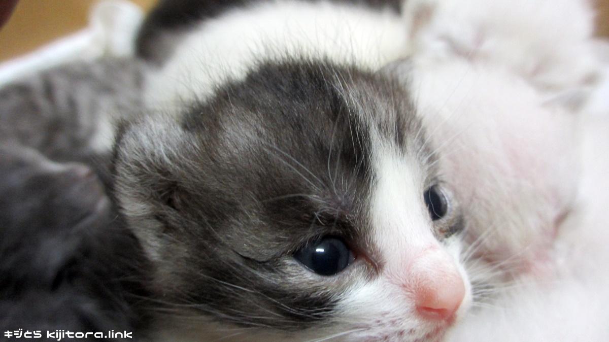 【猫雑学】仔猫の目は、全て青色