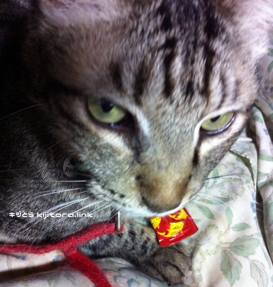 ちゅーるを確保したキジトラ猫