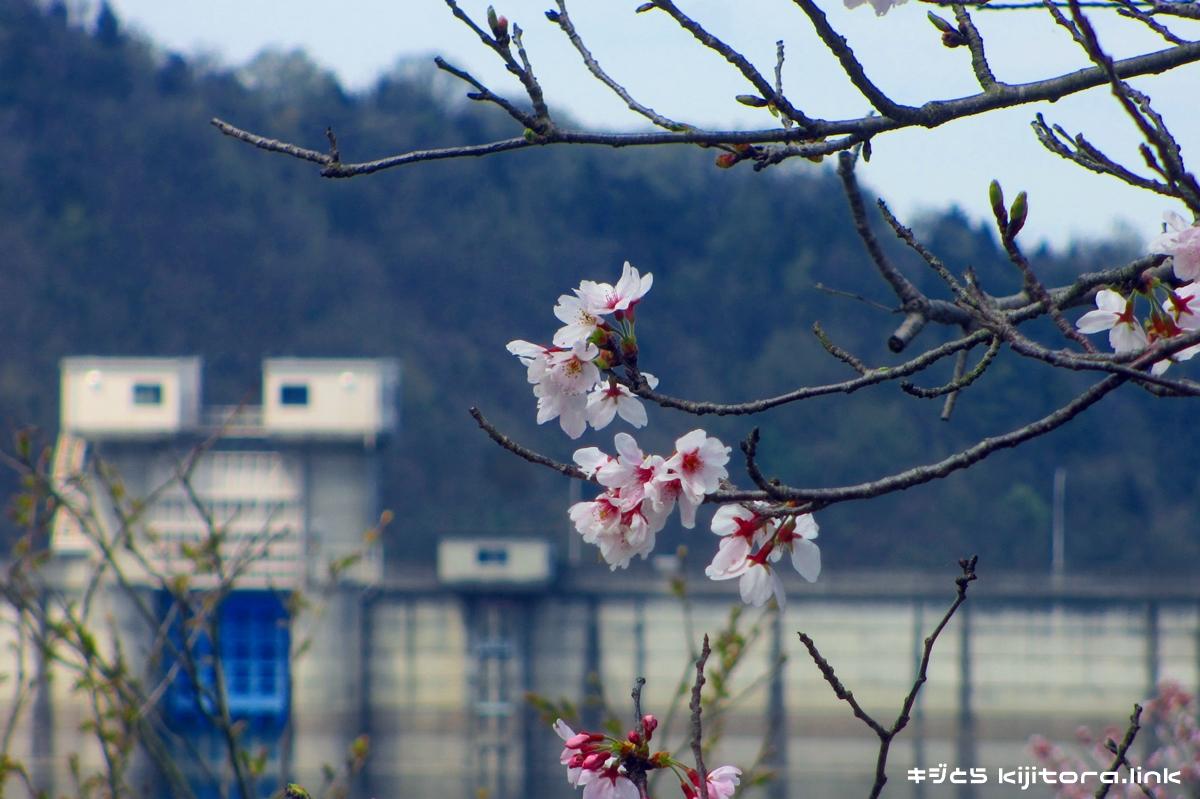 2016年の前山ダムの桜