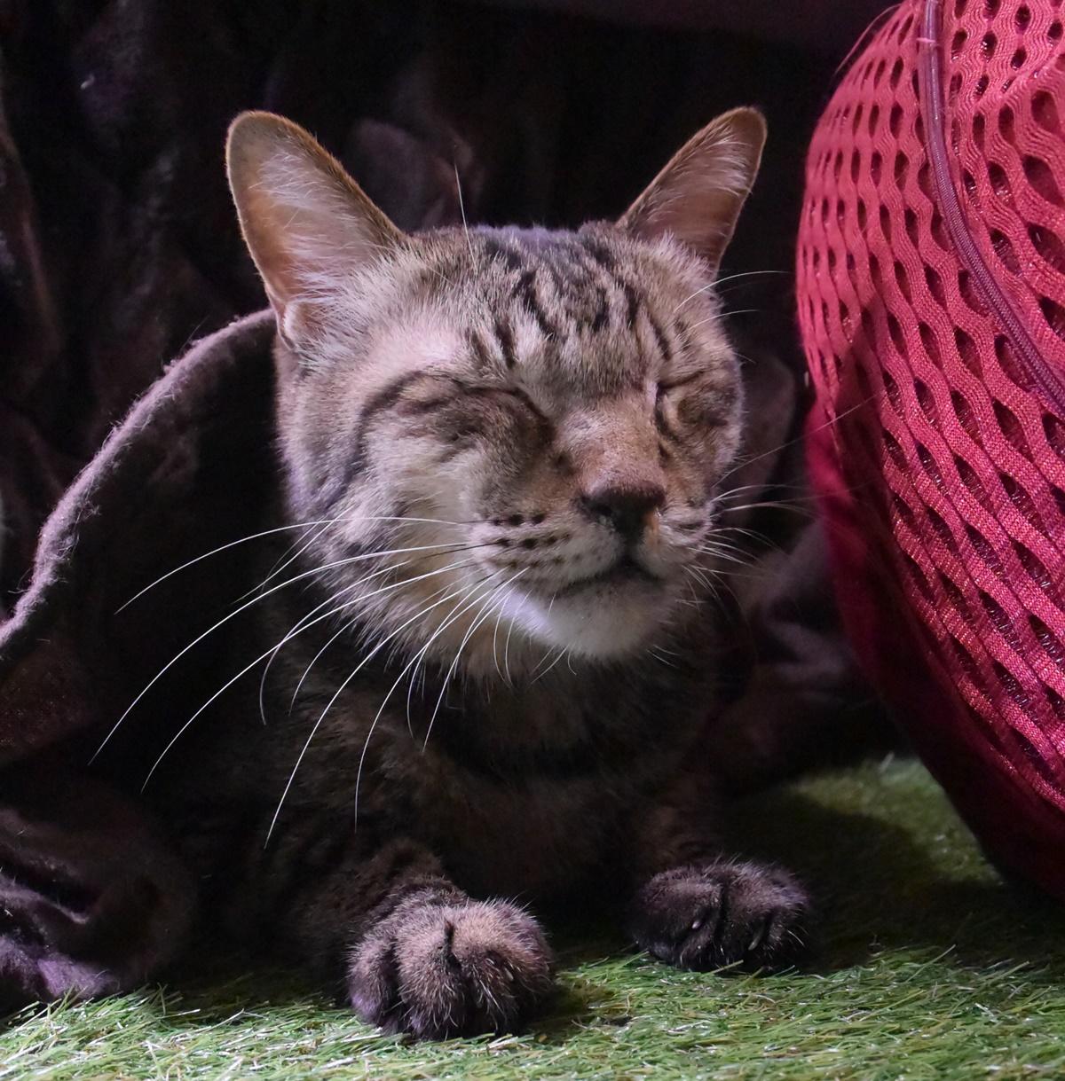 コタツから出てきてくつろぐ猫