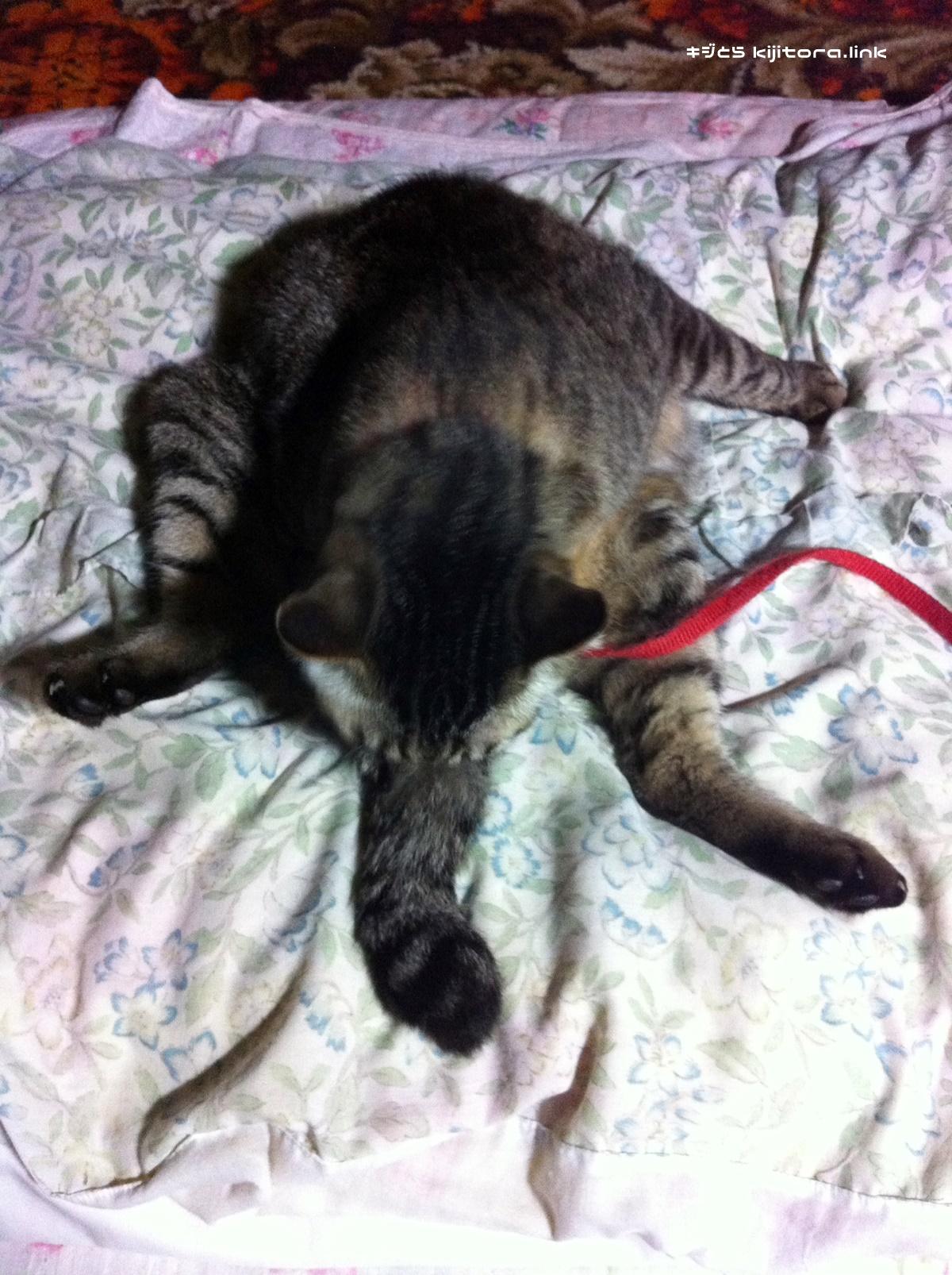 毛繕いするキジトラ猫の上空写真