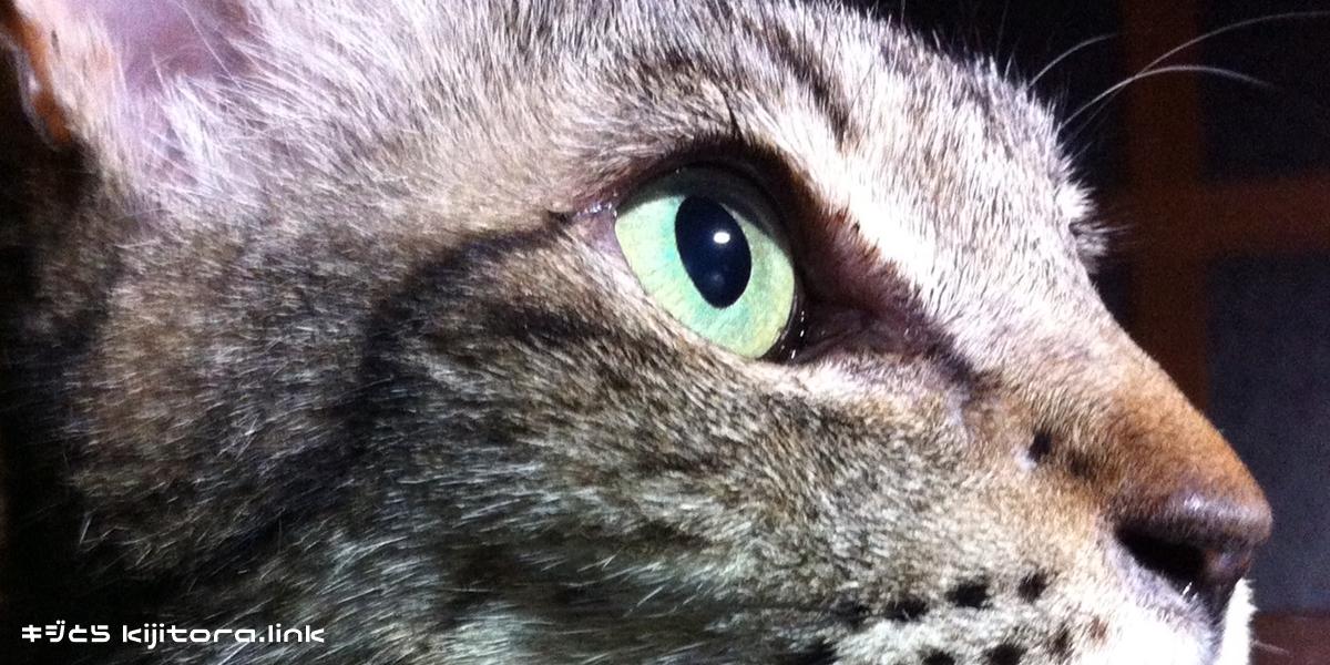 わが家のキジトラ猫の目の色はグリーン