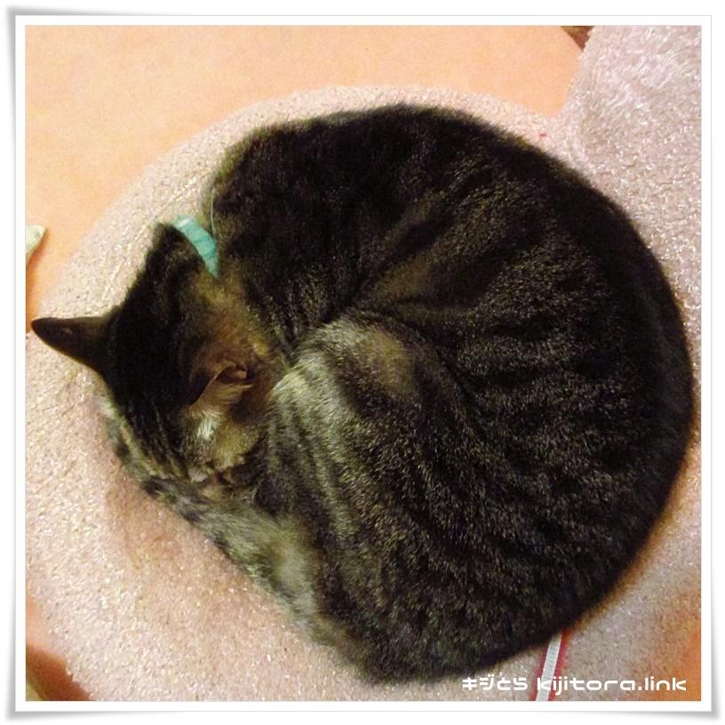 ニャンモナイト(丸くなって眠る猫)