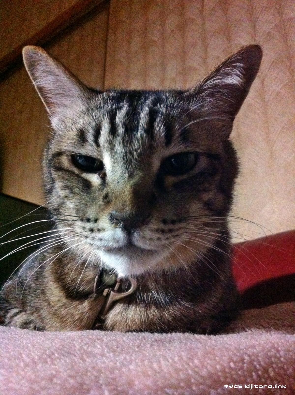 香箱座りしつつも不機嫌そうなキジトラ猫
