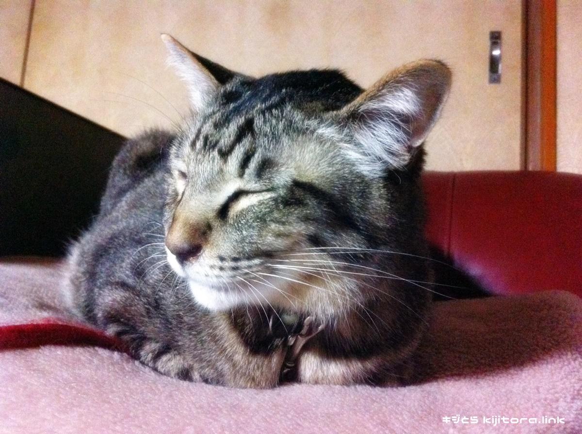 香箱座りして無視するキジトラ猫
