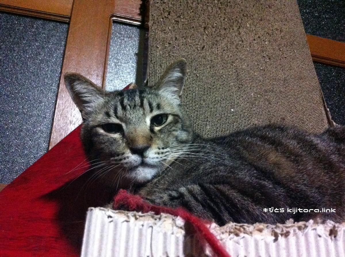 爪とぎの上で鼻水を垂れているキジトラ猫