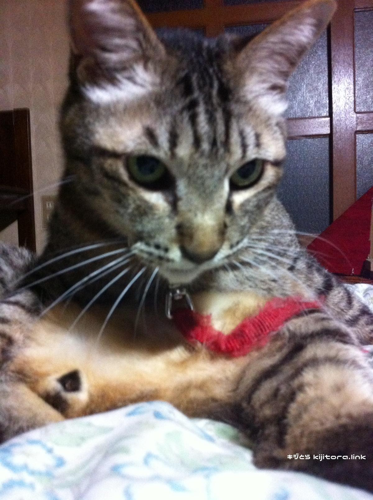 毛繕いするキジトラ猫