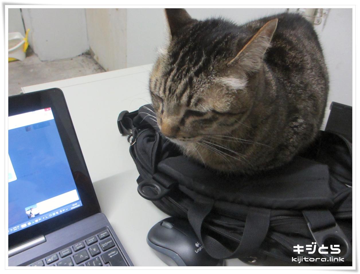 香箱座りで気を抜いているキジトラ猫