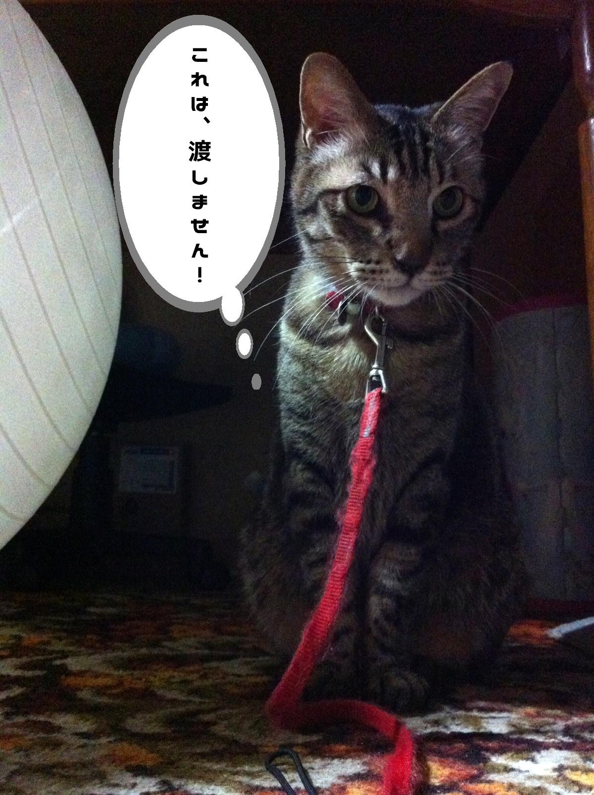 バランスボールとキジトラ猫