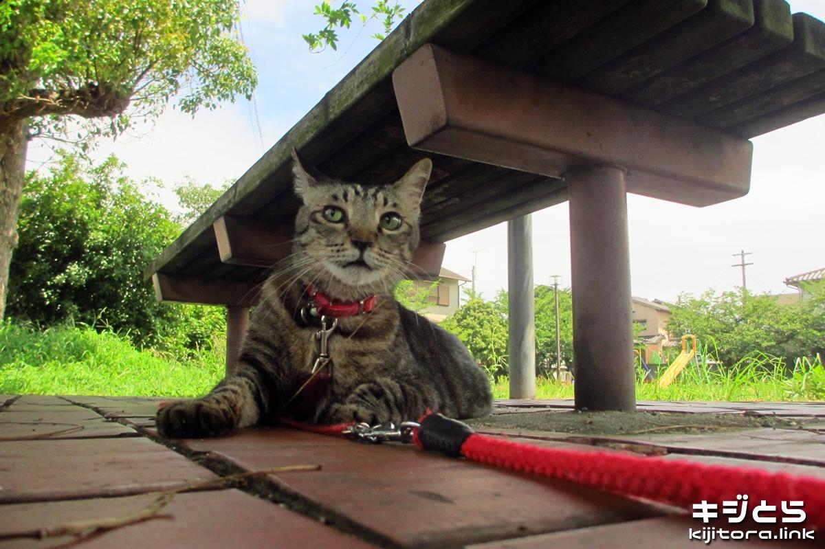 2016-07-16 公園のベンチの下で涼を取るキジトラ猫