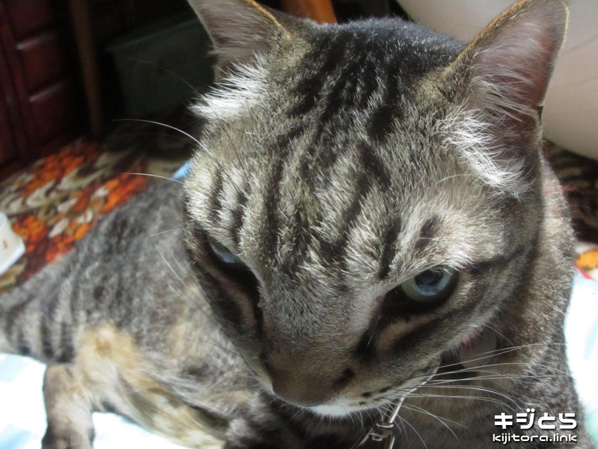2016-07-05 魚眼で撮影したらヒーロー顔になった猫