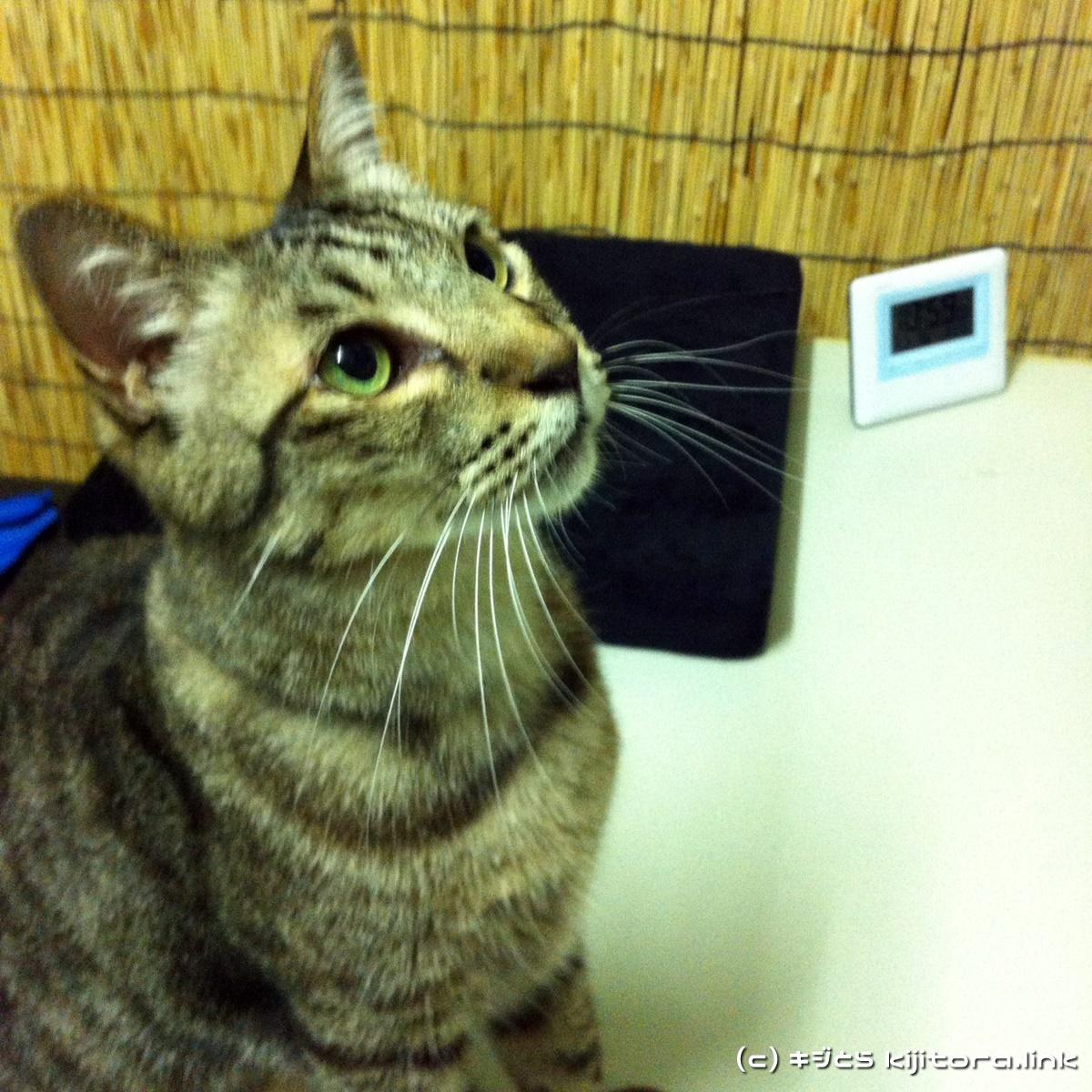 今夜の猫のご飯はジバニャン弁当ニャ♪(猫の食事9)