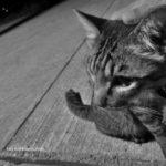 シニア猫が突如オッドアイに!10歳を超えて目の色が変化した猫がいる