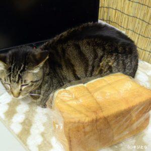 brown tabby :)cat loaf