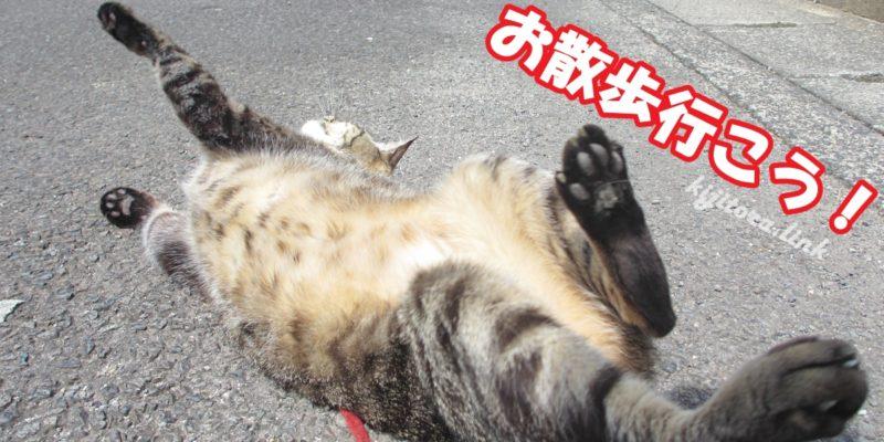 お散歩前にアスファルトにゴロンゴロンする猫