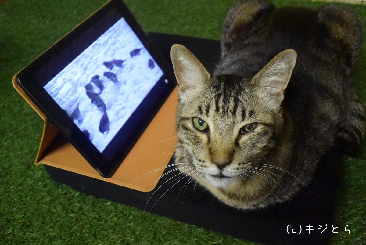 YouTubeを見る猫