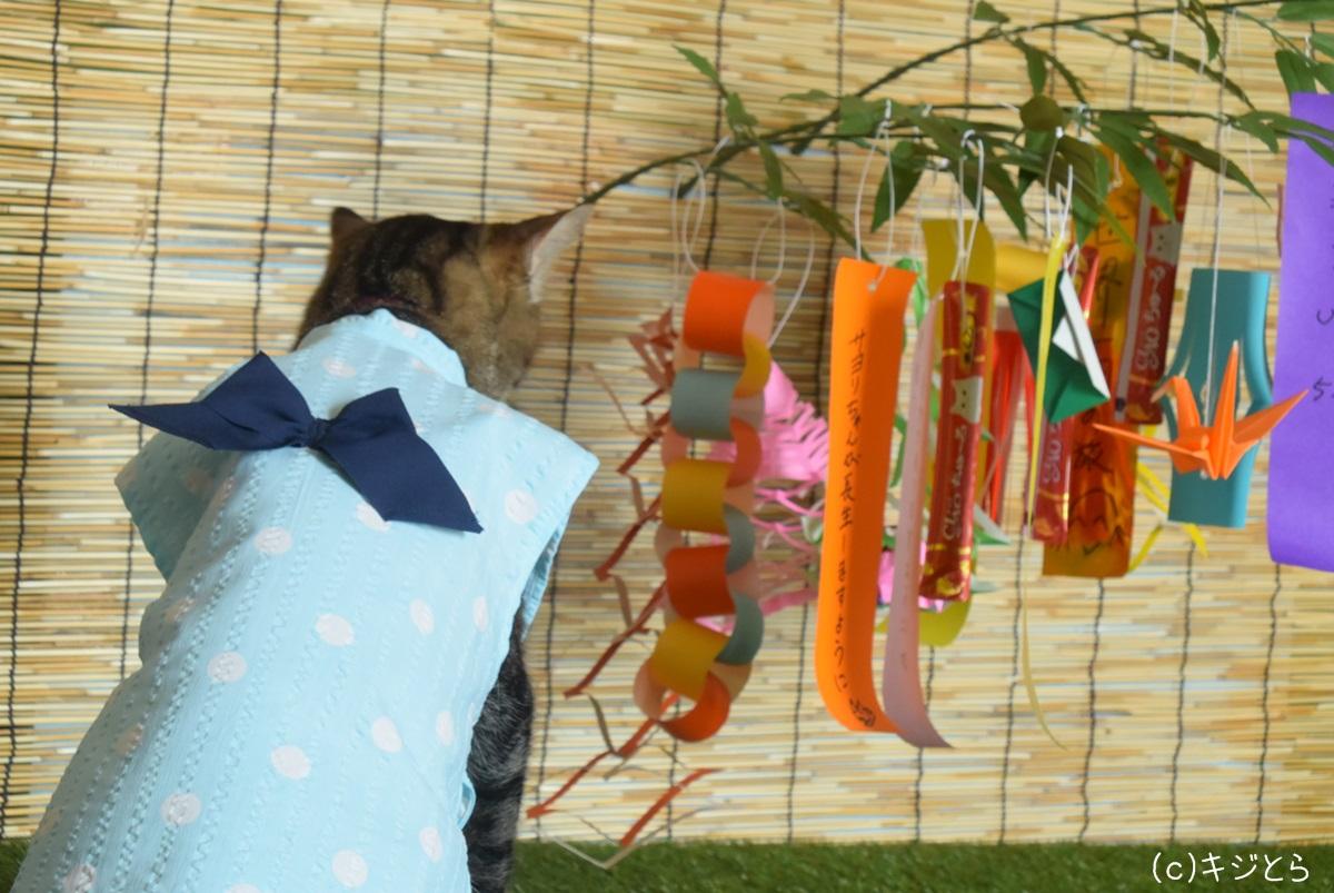 七夕飾りを見る猫