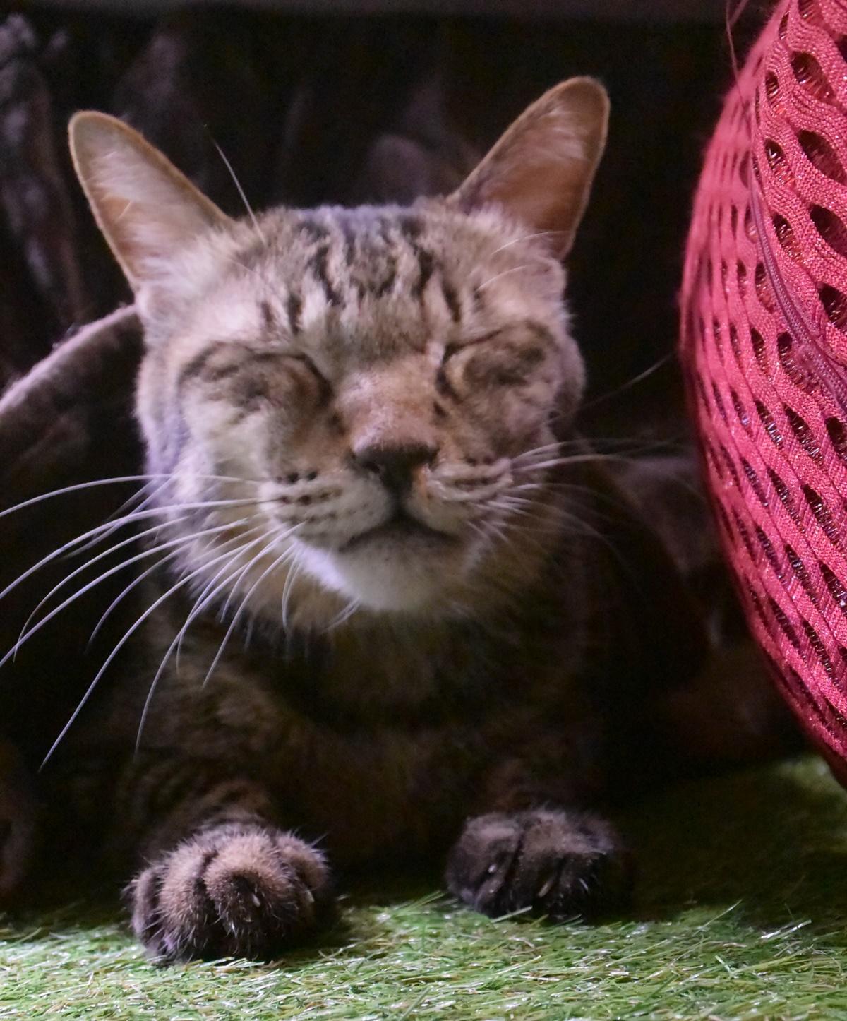 コタツから出てきた猫