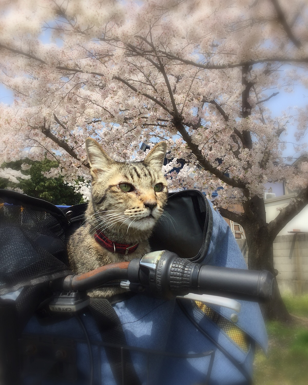自転車のカゴに乗るキジトラ