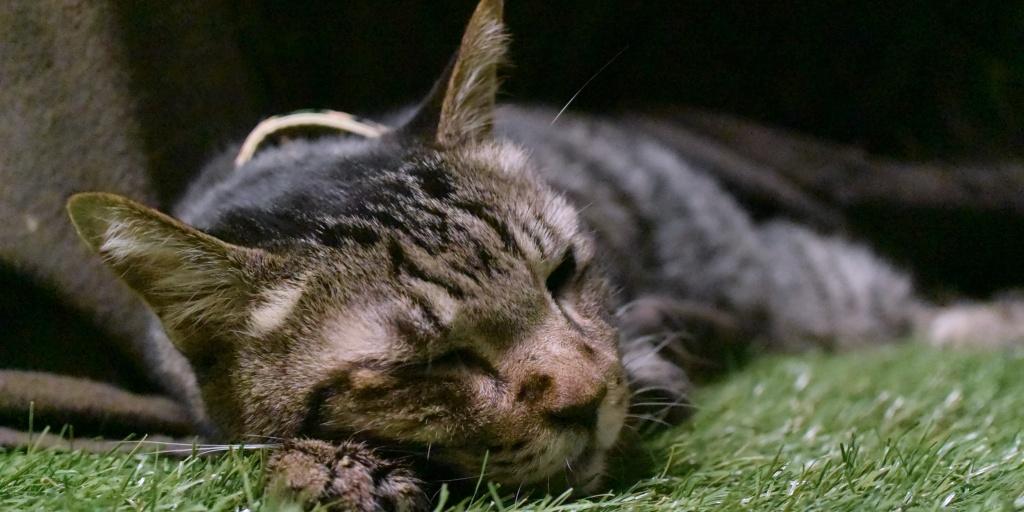 コタツで寝る猫