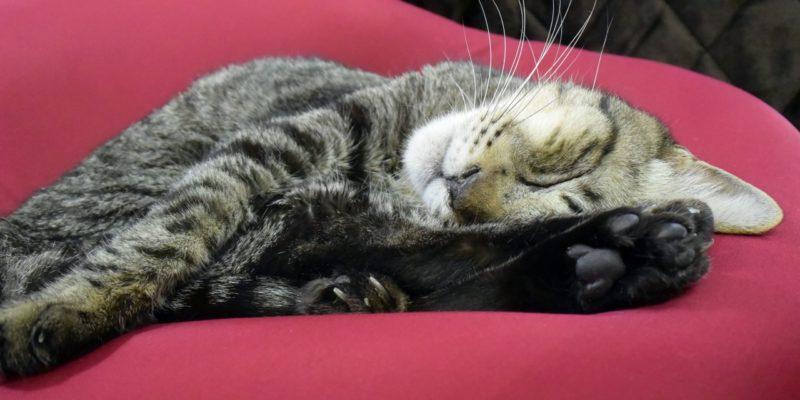 ダメになるソファーで眠る猫