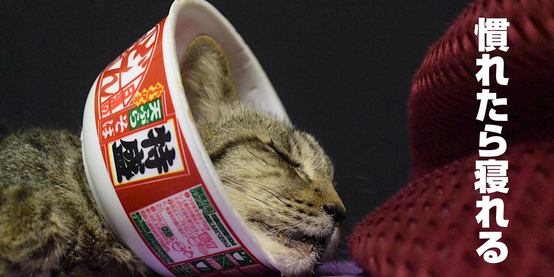どん兵衛カラーで寝る猫