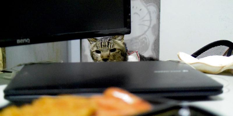 カレーを狙う猫