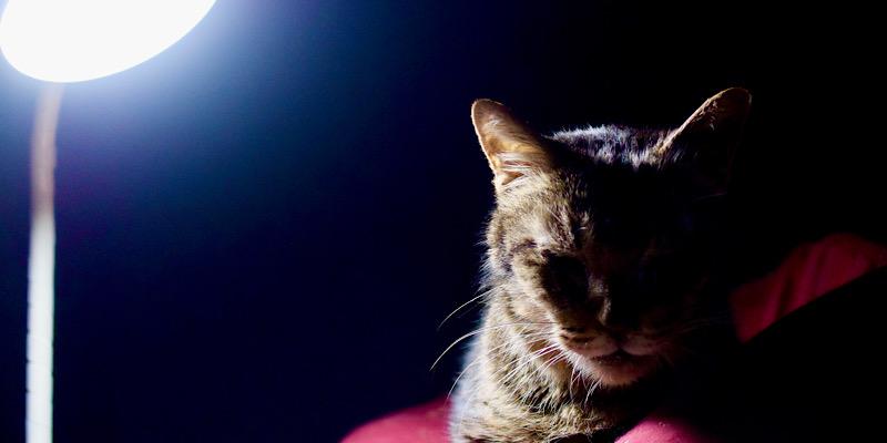 碇ゲンドウっぽい猫