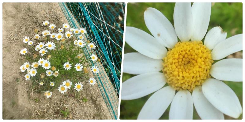 ダイソーのマクロレンズで花を撮影