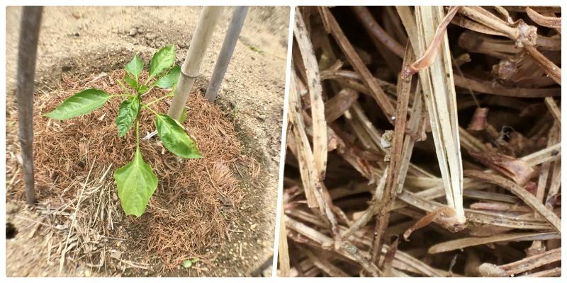 ダイソーのマクロレンズで苗の根本を撮影
